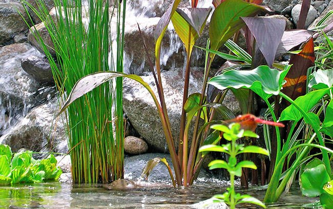 Perfect pond plants the garden glove for Plants to put in pond