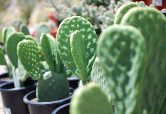 Desert Nursery - Cactus