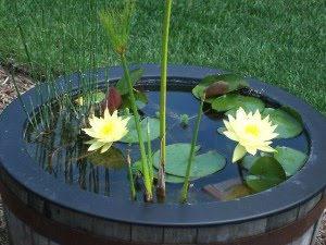 growing lilies pot