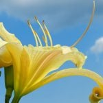 Easy to Grow : Delightful Daylilies