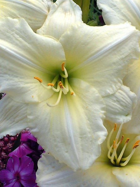 HEJS_0_Hemerocallis_Joan-Senior