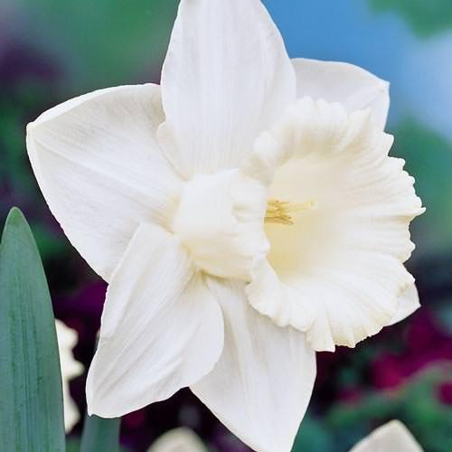 Daffodil-5