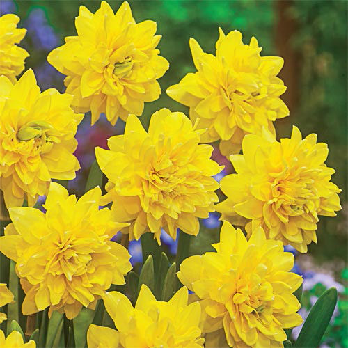 Daffodils-11