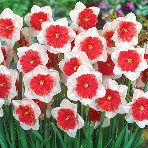 Daffodils-7