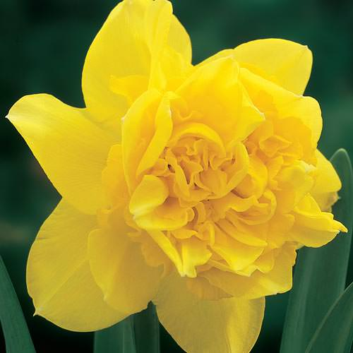 Daffodils-8