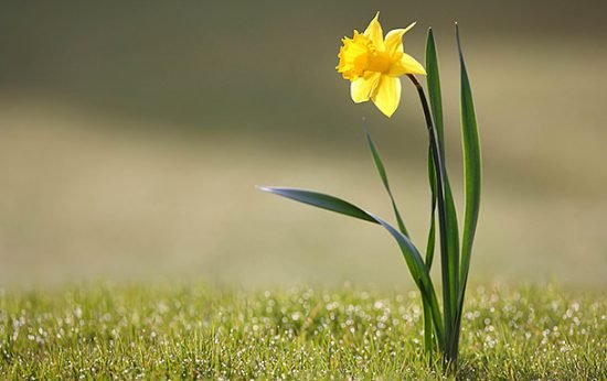Brighten Your Garden with Daffodils