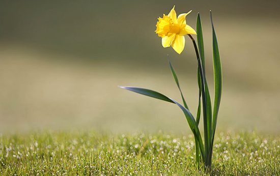 Brighten Your Garden - Grow Daffodils
