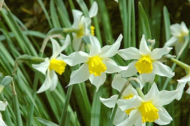 daffodils 03
