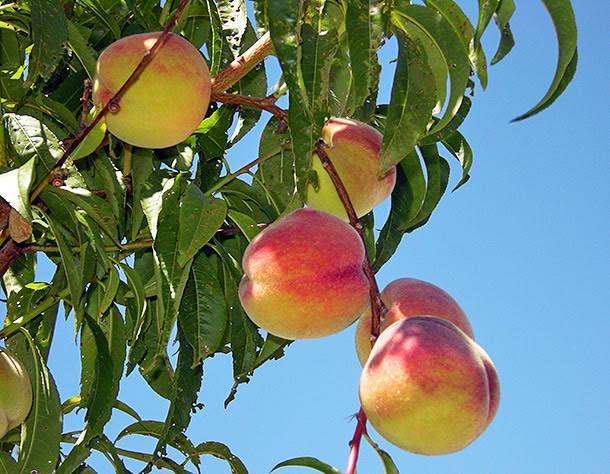How to grow fruit trees the garden glove - Spring trimming orchard trees healthy ...
