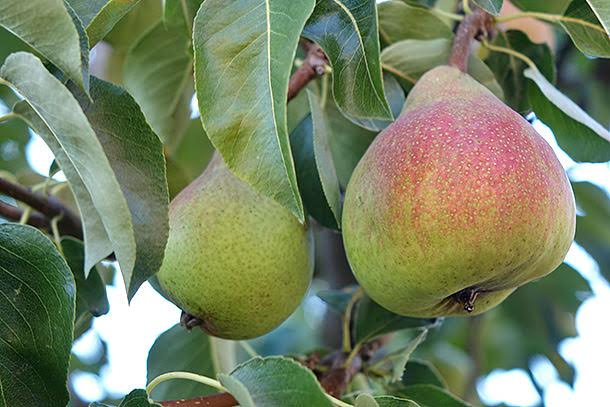Grow fruit trees-5
