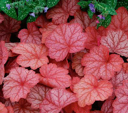 Shade loving plants-8