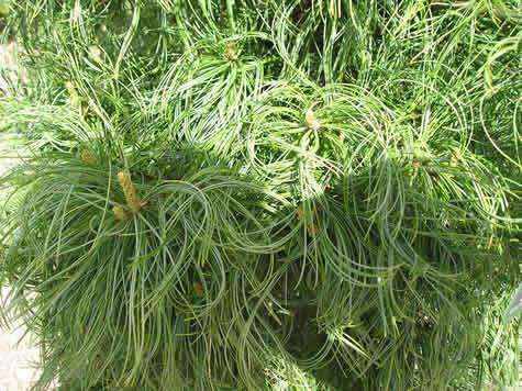 Conifer-11