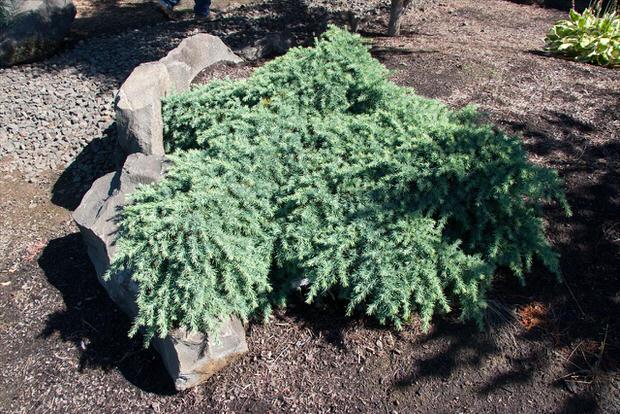 Conifers-5
