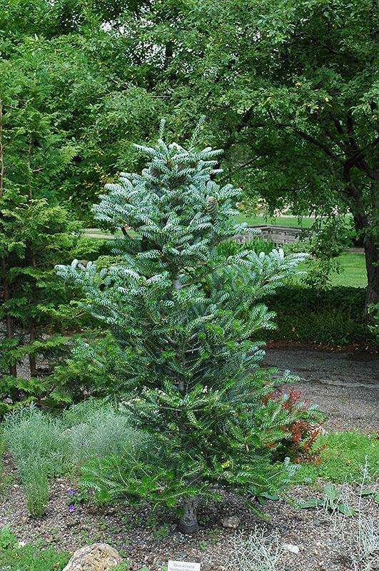 Conifers-6-1