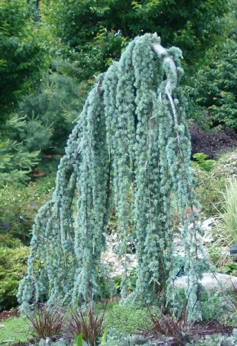 Conifers-6