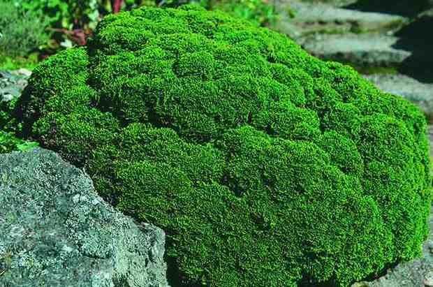 Conifers 8