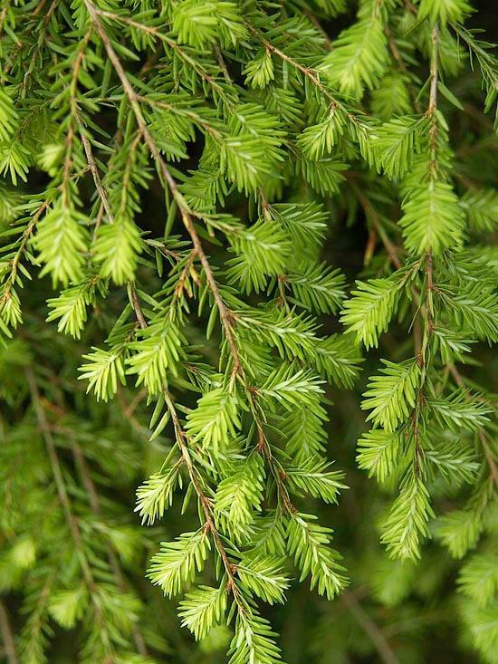 Conifers-9