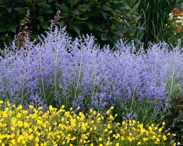 10 no fail drought tolerant perennials for low water gardens the low water perennials 3 mightylinksfo
