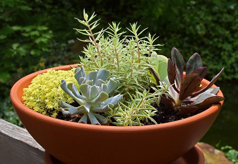 How to Grow & Care for Sedum Plants