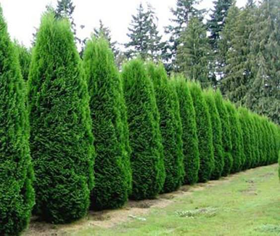 Landscaping Around A Group Of Trees : Be used for privacy as well these horsetail plants have been around