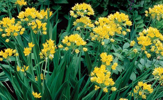 Amazing Alliums-1