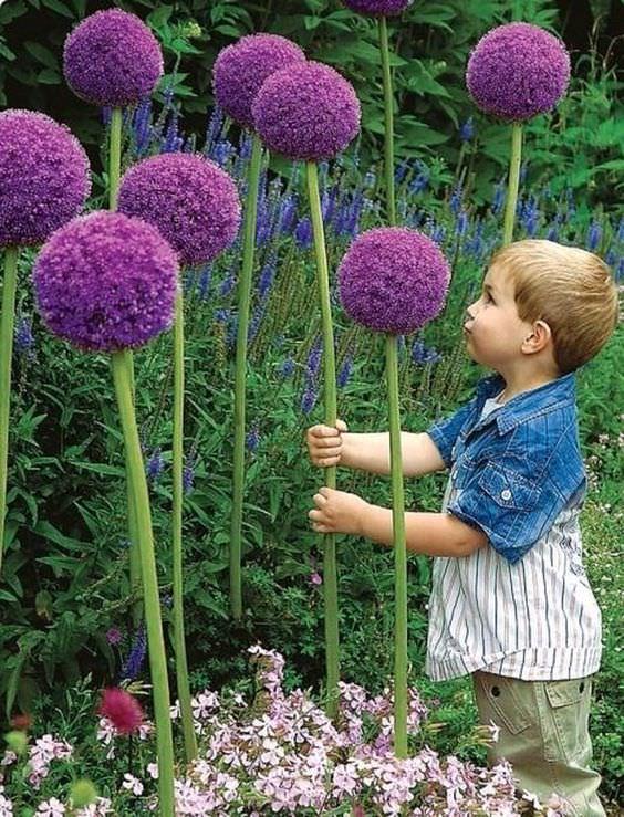 Amazing Alliums-2