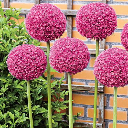 Amazing Alliums-6