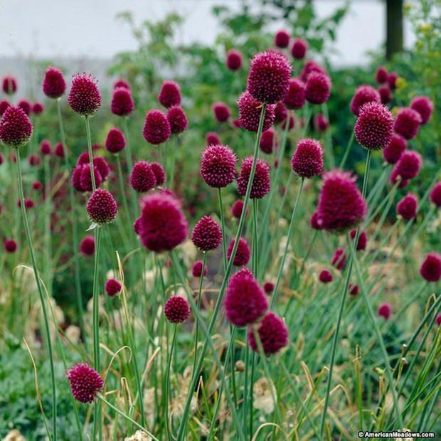 Amazing Alliums-8