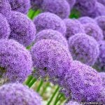 Amazing Alliums