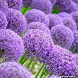 How to Grow Alliums