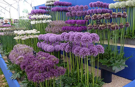 How To Grow Amazing Alliums The Garden Glove