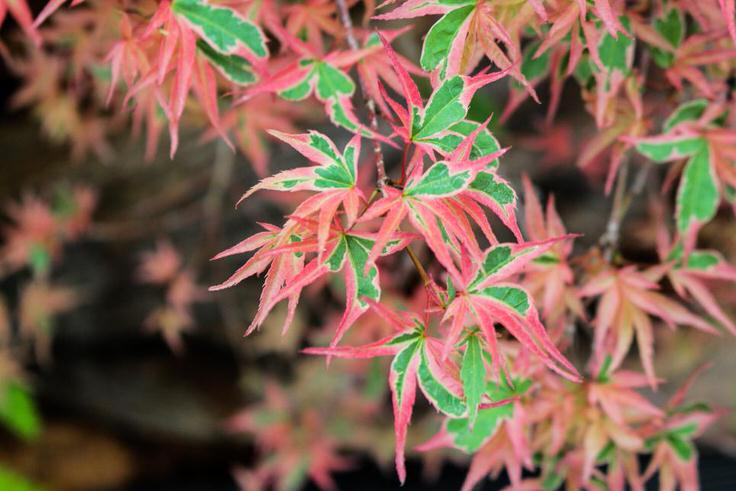 How to Grow Japanese Maples The