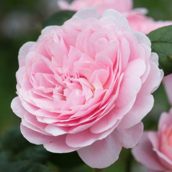 How to Grow English Roses