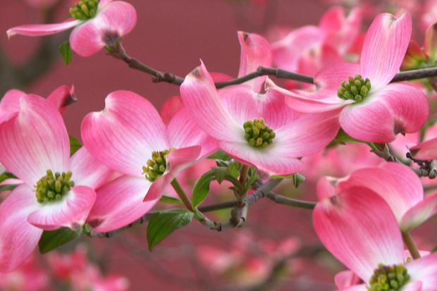 Beautiful blooming trees for spring the garden glove there are several cultivars of japanese cherry some produce fruit that birds love with white and pink flowers others have deep pink blooms and are mightylinksfo