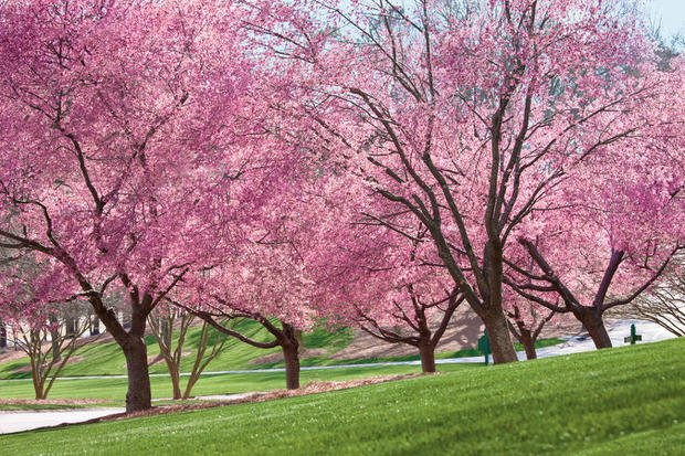 Beautiful Spring Blooming Trees The