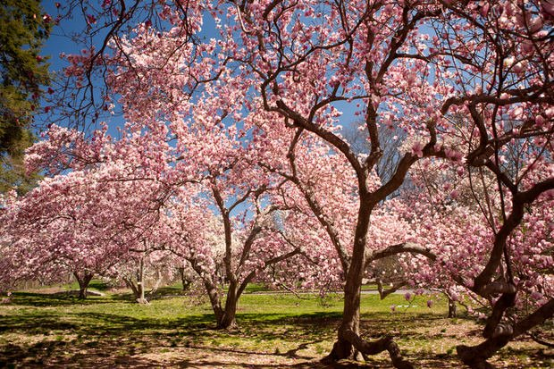 Beautiful spring blooming trees the garden glove this tree is not evergreen saucer magnolia blooms before it leafs out so the blooms take center stage can be planted down to zone 4 gorgeous tree mightylinksfo