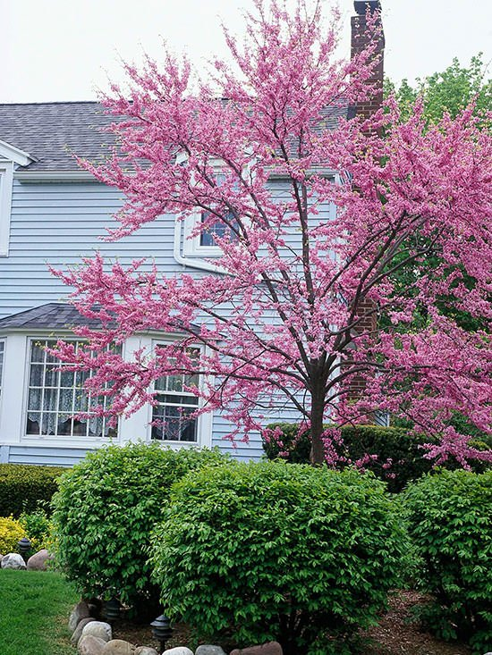 Beautiful blooming trees for spring the garden glove for Hardy flowering trees
