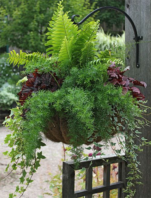 But No Worries None Of These Are Tough Fellow Gardeners Photo This Shade Hanging Basket Asparagus Fern Ivy And C Bells By Supply