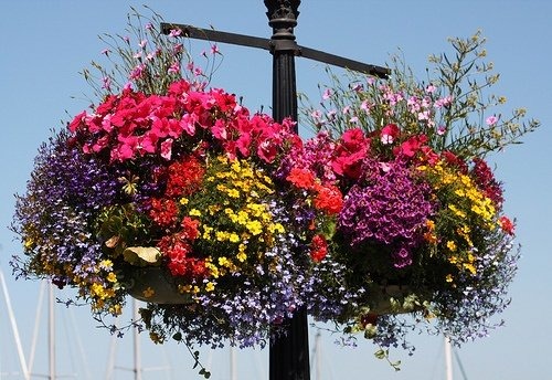 Hanging Flower Baskets Require A Lot More Water Than Even Other Container Plants Especially The Ones With Fiber Liners Do Not Let Your Planters Dry Out