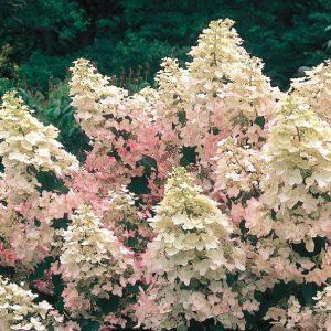 Growing PeeGee Hydrangeas