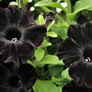 Update Your Garden with Dark & Dramatic Plants