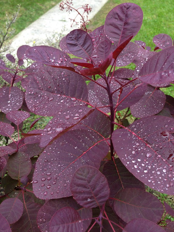 Update Your Garden With Dark Amp Dramatic Plants The