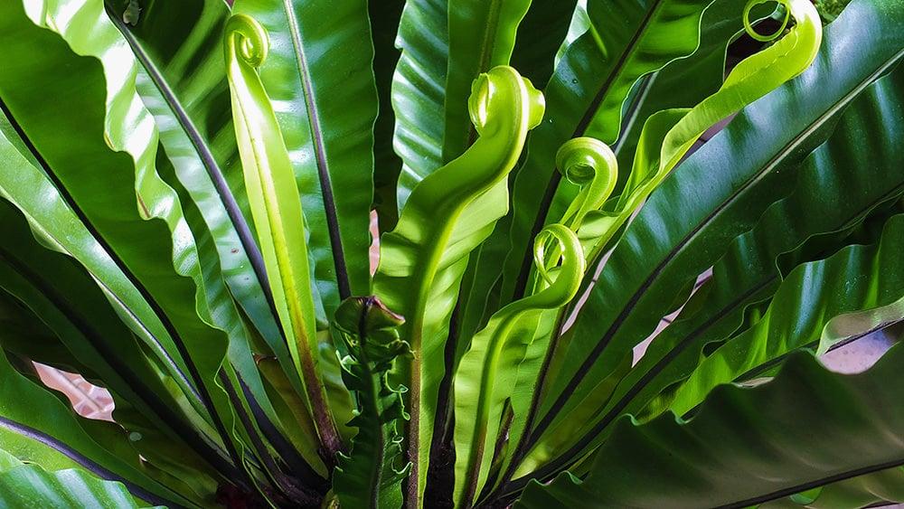 Fabulous Ferns : Types of Ferns & Fern Care- Birds Nest Fern
