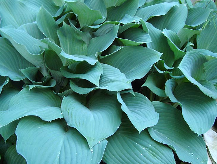 How To Grow And Care For Hosta Plants The Garden Glove