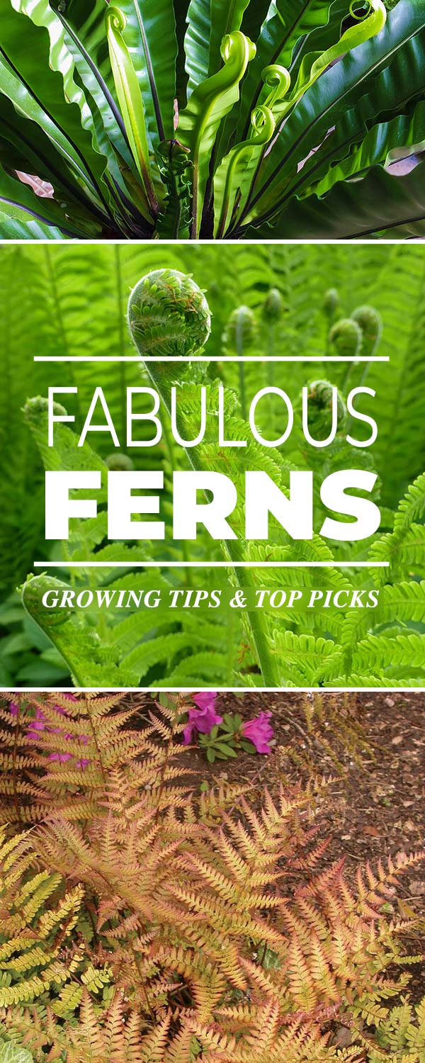 Fabulous Ferns - types of ferns