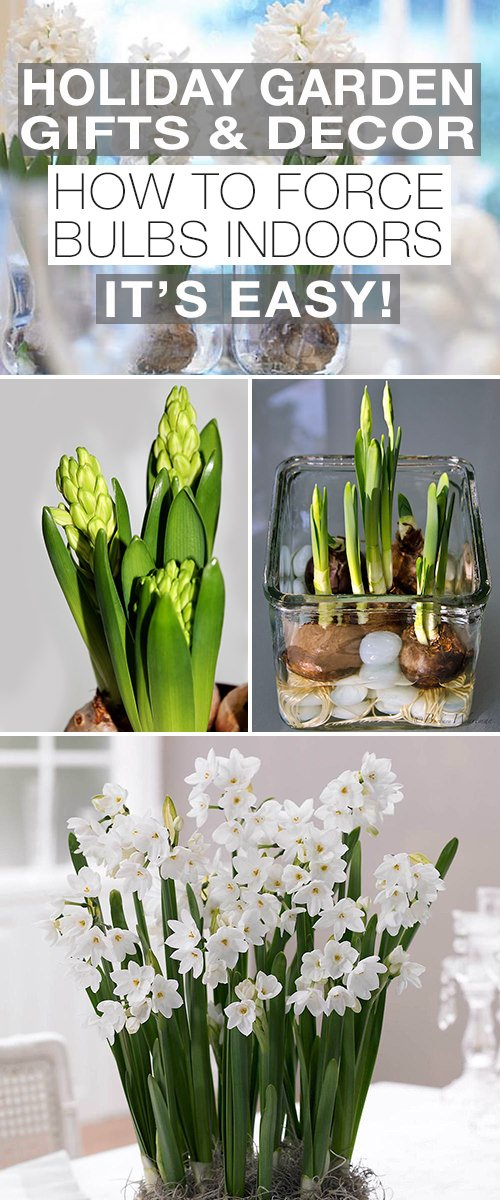 Holiday Garden Gifts & Decor - How To Force Bulbs Indoors, It's Easy!