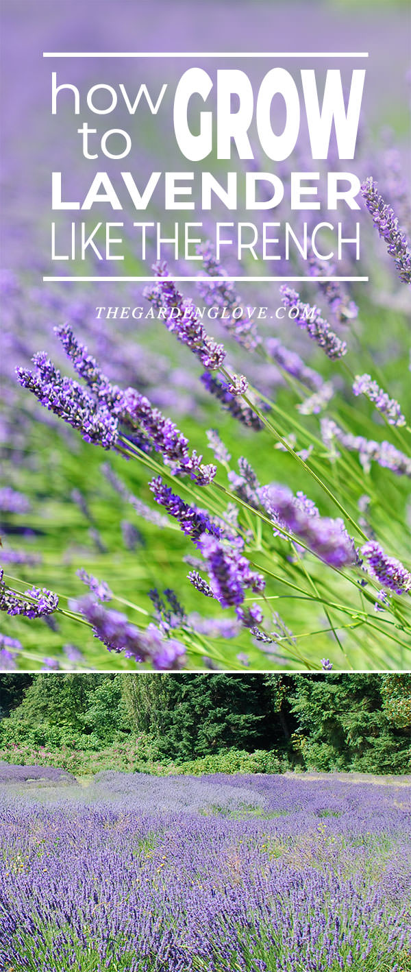 How To Grow Lavender Like The French The Garden Glove