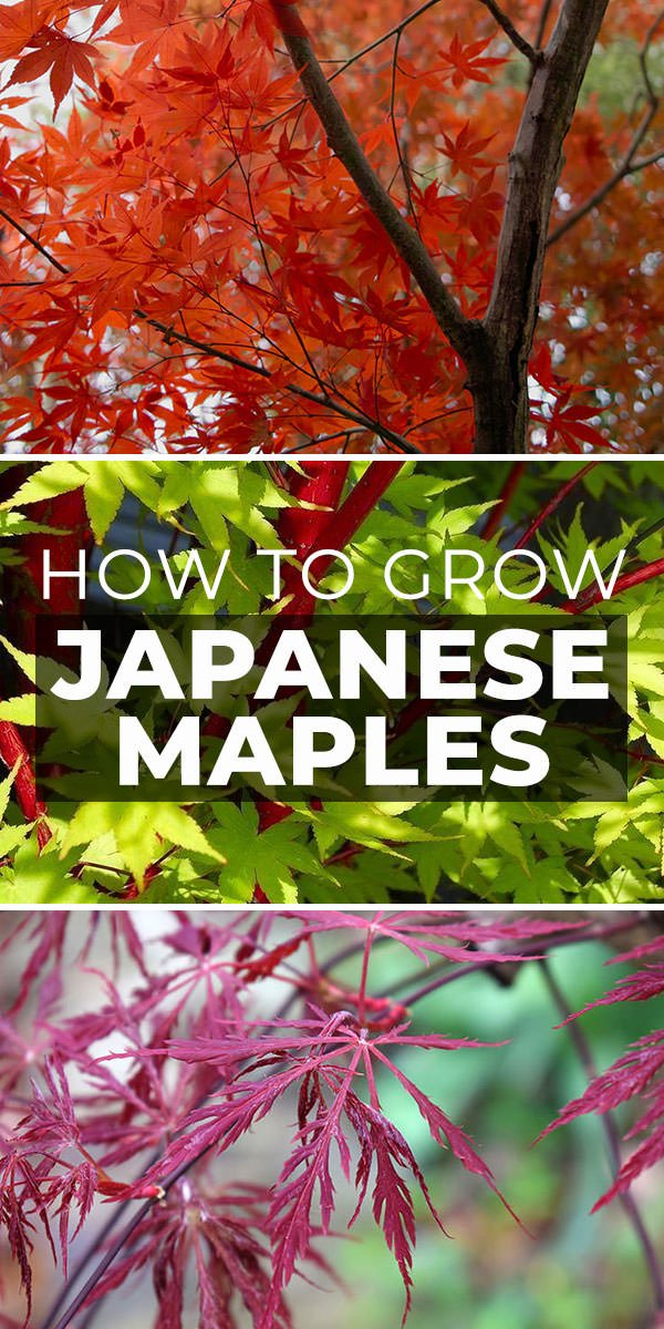 How To Grow Japanese Maples The Garden Glove