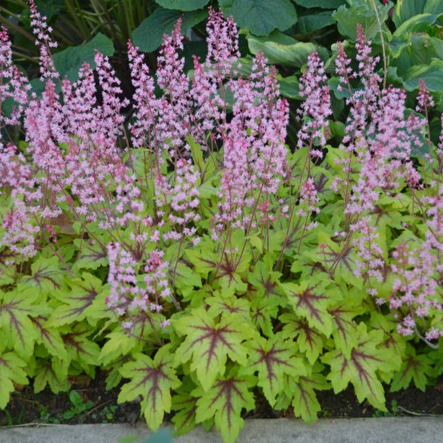 Perennials For Shade That Bloom All Summer The Garden Glove