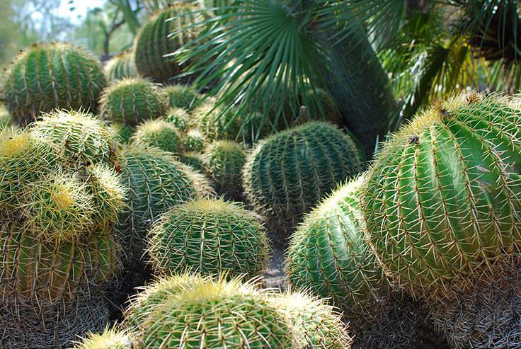 Grow a Cactus Garden- Barrel Cactus